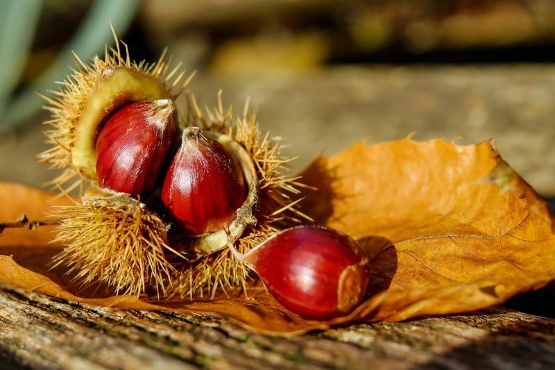 chestnut-1784282_1920