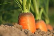 carrot-1565597_1920-4-1-1